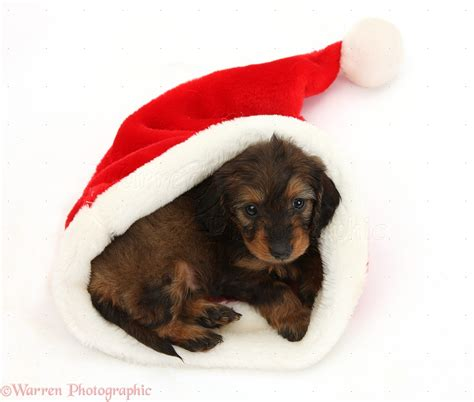 Marvelous Christmas With Dogs Pictures #2: 37940-Red-and-black-Daxiedoodle-pup-in-a-Santa-hat-white-background.jpg