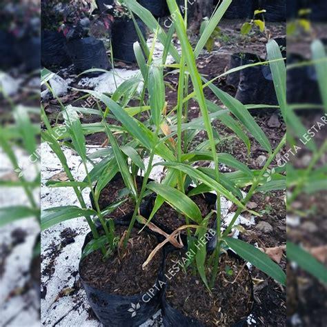 jual bibit jahe merah benih pohon obat tanaman herbal
