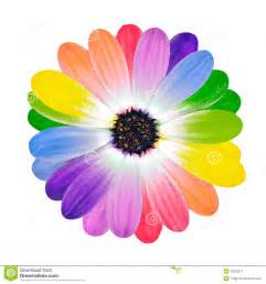 colored daisies rainbow multi colored petals of flower stock image