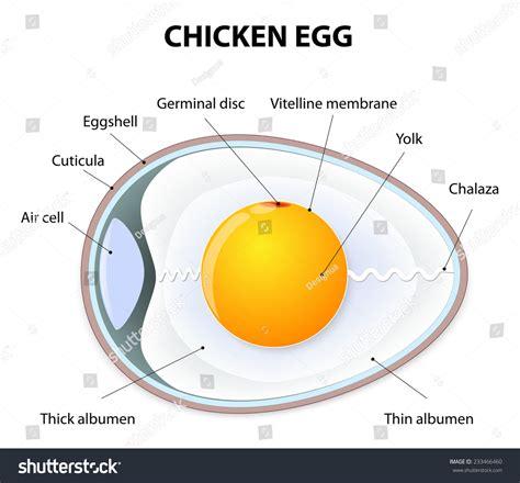 diagram of an amniotic egg amniotic egg diagram ovum diagram elsavadorla
