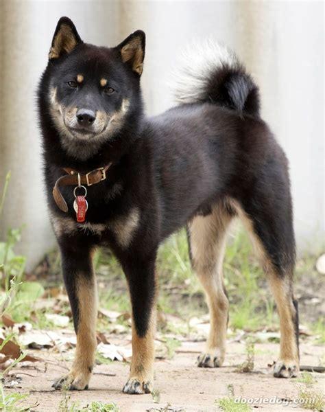 black and shiba inu puppy black and shiba inu canines