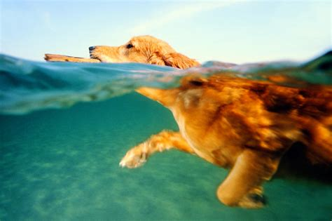 puppies swimming do all dogs how to swim behavior animal planet