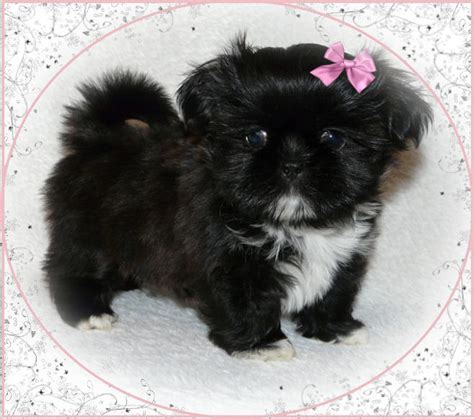 small shih tzu for sale enchanted mountain shih tzu breeder of shih tzu and imperial puppies breeder