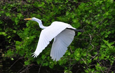 A White Heron Essay by A White Heron Essays