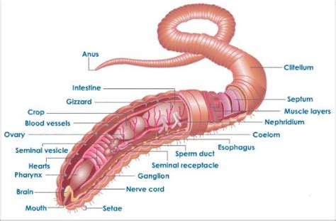 diagram of earthworm with label earthworm dissection diagram andrew garfield
