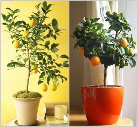 indoor lemon tree best indoor fruit trees selection interior decorating colors interior decorating colors