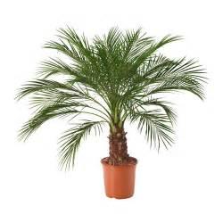 palme terrasse roebelenii plante en pot ikea