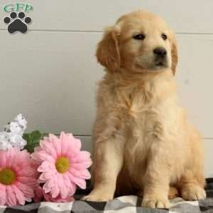 puppies for sale in nj 300 golden retriever mix puppies for sale nj dogs in our photo