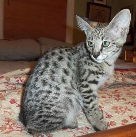 savannah kittens for sale about savannahs savannah f1 savannah kittens for sale available f1 savannah kittens