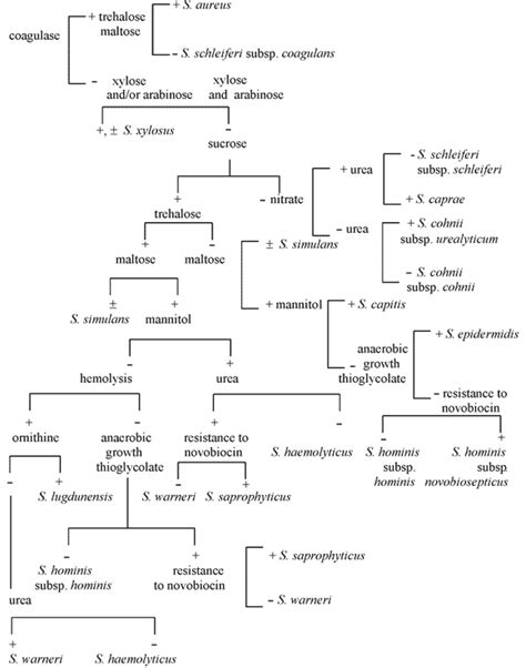 staphylococcus flowchart 22a identification of staphylococcus species biology