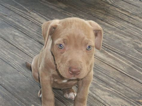 nose pitbull puppy nose pitbull dogs