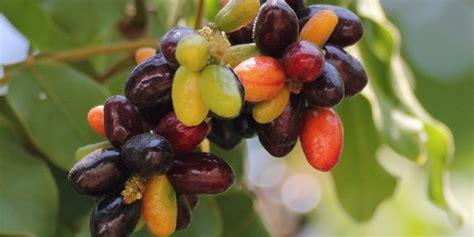 Bibit Jamblang Bibit Duwet cara budidaya buah duwet atau buah jamblang buah kaya