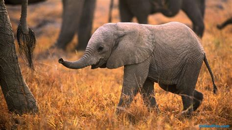 wallpaper elephant cute baby elephant wallpapers wallpaper cave