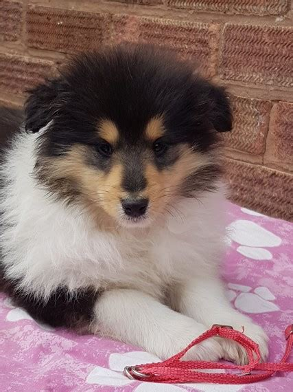 collie puppies for sale in michigan collie puppies for sale michigan avenue mi 195420