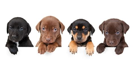 what vaccines do puppies need puppy vaccinations