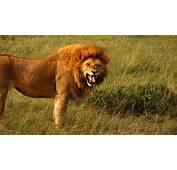 Agressive Lion 4K Wallpaper  Free