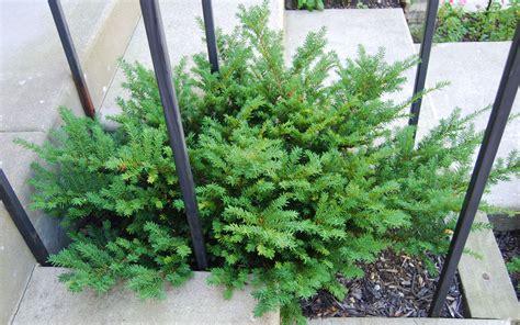 taunton yew spreading grimm s gardens