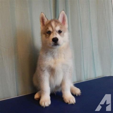 husky puppies dallas grey and white siberian husky puppy near dallas tx for sale in rockwall