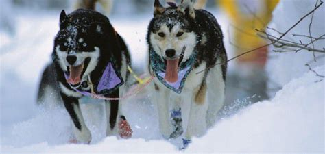 alaska puppies things to do in the yukon archives westmark hotels
