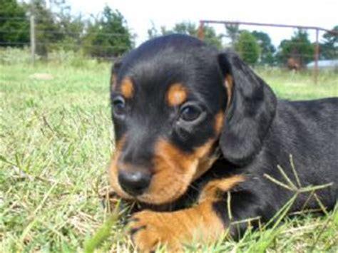 dachshund puppies okc dachshund puppies in oklahoma
