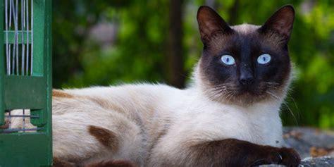 gatto siamese alimentazione gatto siamese carattere origini e prezzo cose di gatti