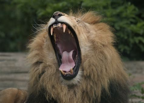 How Do Lions Grab Attention? They Roar Like Babies   Lions