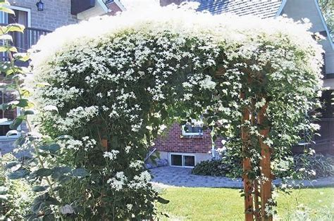 Home Snow Vanishing 39 Gr clematis summer snow clematis 39 summer snow 39 39 paul farges 39 clematis clematis summer