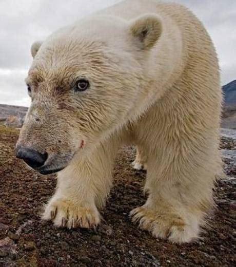 94 Photo Ours Polaire by Quot Polar Obsession Quot Des Photos Qui Rendent Compte De La