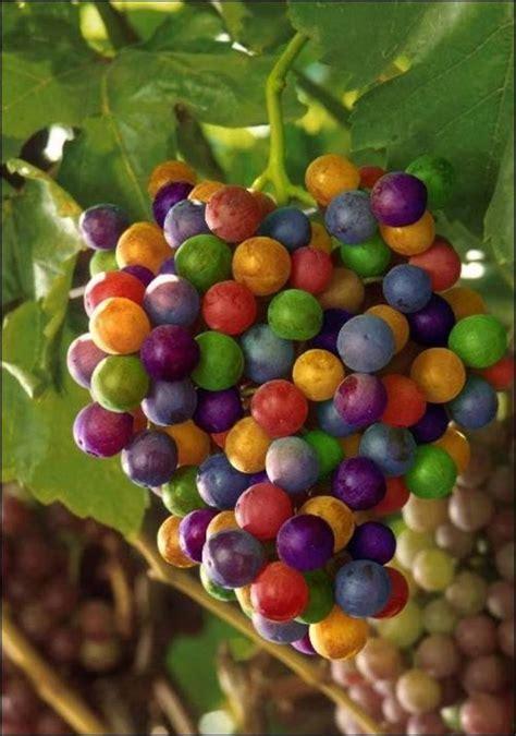Bibit Anggur Crimson rainbow grapes incredibly delicious falvor xcitefun net