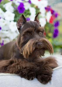 liver colored liver colored mini schnauzer schnauzer