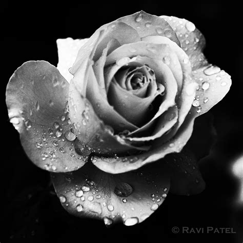 a jeweled rose photos by ravi