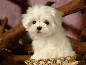 Maltese Puppies Animals Zone White Maltese Puppies