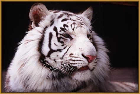 imagenes en blanco para facebook dibujos de tigre blanco para colorear archivos imagenes