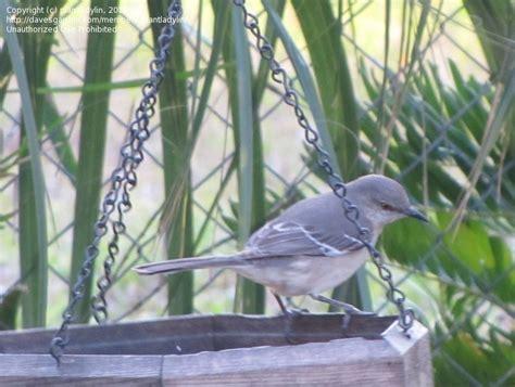 detailed information  northern mockingbird mimus