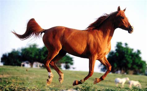 wallpaper for desktop running horse running horse wallpaper 908684
