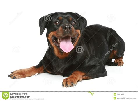 crate size for rottweiler rottweiler vector image breeds picture