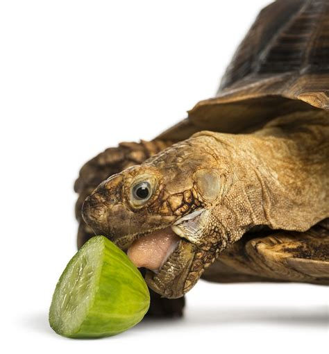 How To Keep Birds And Squirrels Out Of Fruit Trees - learn about nature efficient sulcata tortoise care learn about nature