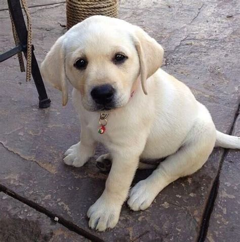 pictures of yellow lab puppies yellow lab puppy sweetheart yellow labs