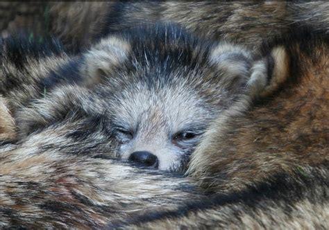 achim fischer baby raccoon by eric achim fischer pixdaus