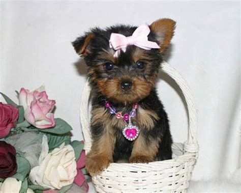 teacup yorkie rescue ct lovely teacup yorkie puppies for free adoption for sale adoption from fresno