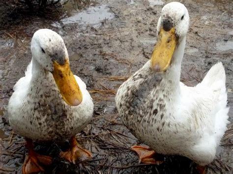 ducks   chickens hgtv