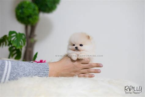 teacup puppies for adoption near me sold to cheok tiara pomeranian f rolly teacup puppies