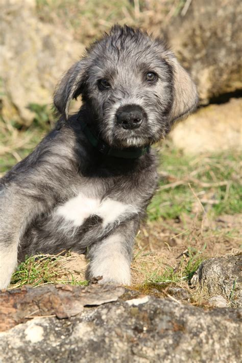 wolfhound puppy 5 puppies who look nothing like their version page 3 iheartdogs