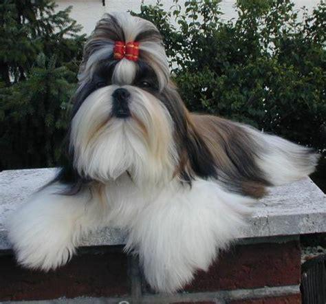 raza shih tzu shih tzu raza de perro mi perro es 218 nico