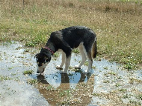 in dogs leptospirosis in dogs a of a bacterial infection