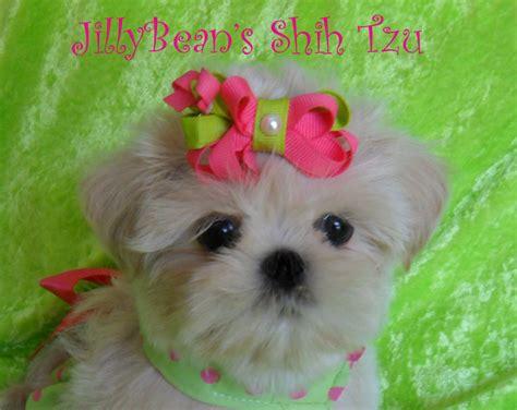 jillybean shih tzu jilly beans shih tzu
