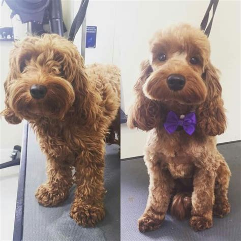 cockapoo haircuts before and after the 25 best cockapoo grooming ideas on pinterest