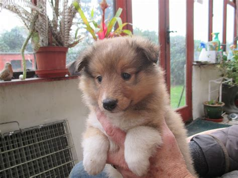 sheepdog puppies for sale shetland sheepdog puppies for sale st austell cornwall pets4homes