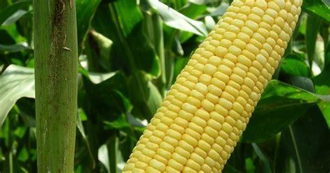 Benih Jagung Manis Per Kilo bpp kedungwaru tulungagung jawa timur cara menanam jagung