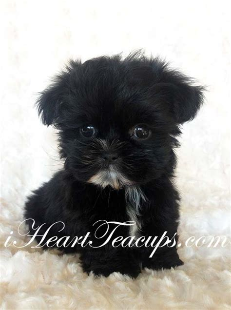 black and yorkie puppies for sale teacup morkie puppy for sale jet black teddy morkie quot chanel quot want